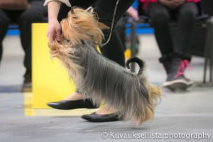 High five with Stella at Lahti INT show after winning Best of breed 2.4.2016 under Tanya Ahlman-Stockmari, FI !!